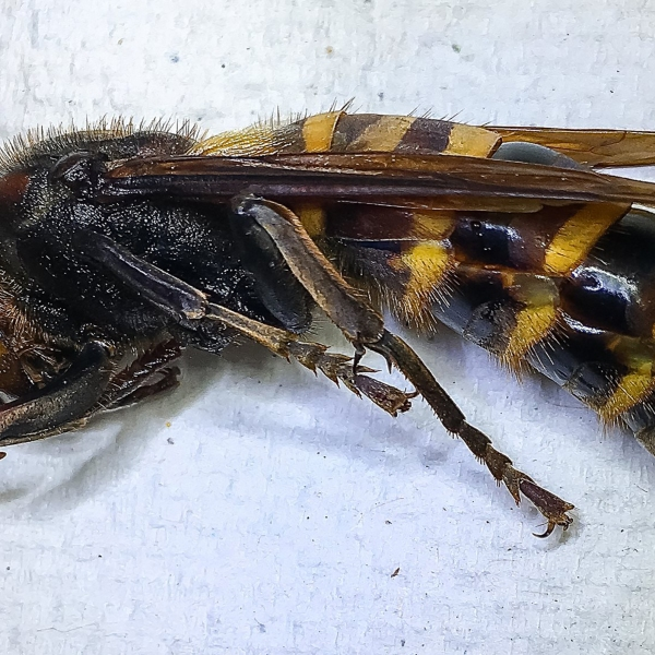 """Washington state has trapped its first Asian giant hornet -- or, what we've come to know as the """"murder hornet."""""""