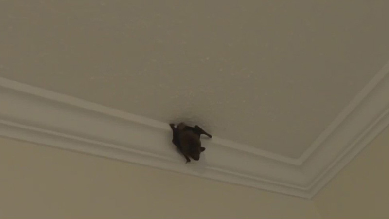 Wildlife damage control agent fielding increase of bat-related calls in the Triad