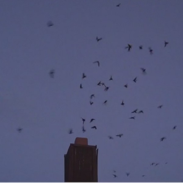 Bird watchers in Greensboro look to the skies as chimney swifts begin to head south