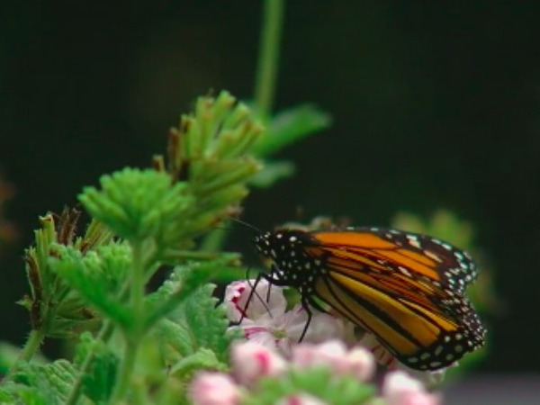 Monarch butterfly migration comes through North Carolina