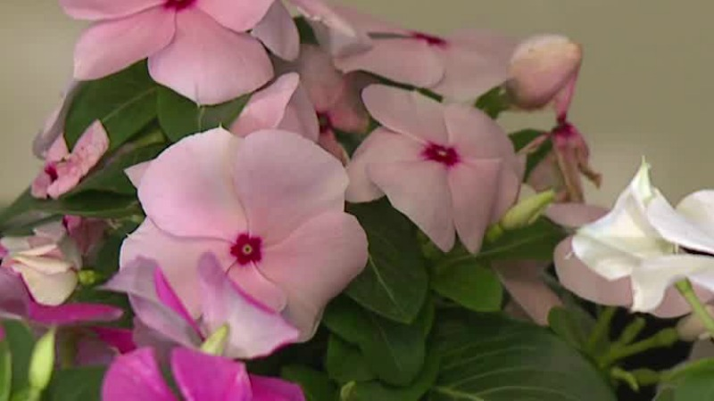 Local breast cancer survivor delivers plants to women facing cancer