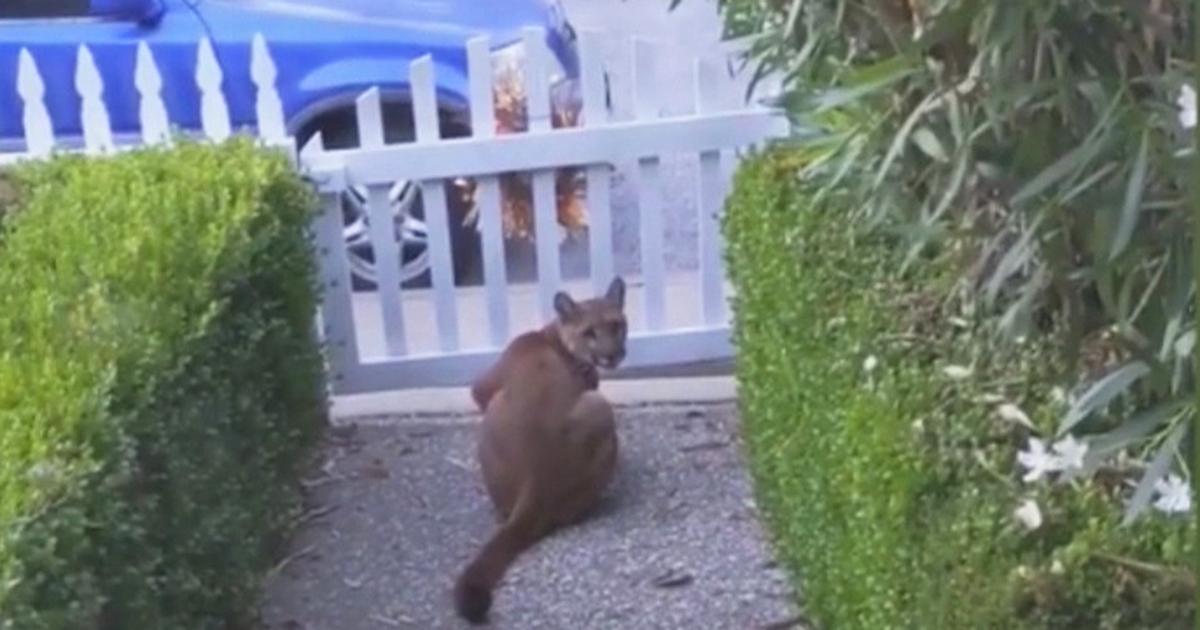 Mountain lion recorded stalking kids in California neighborhood
