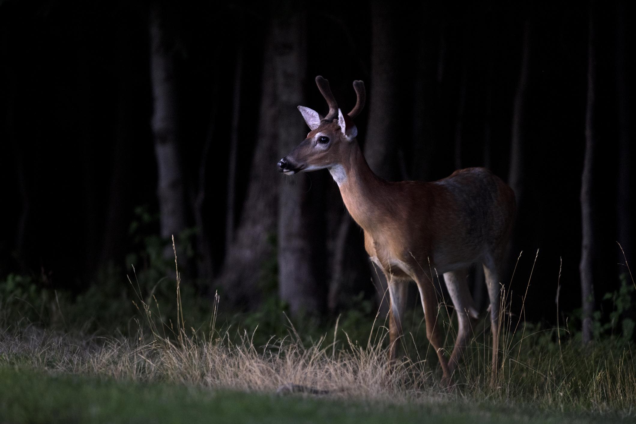 Generic image of deer (Getty Images)