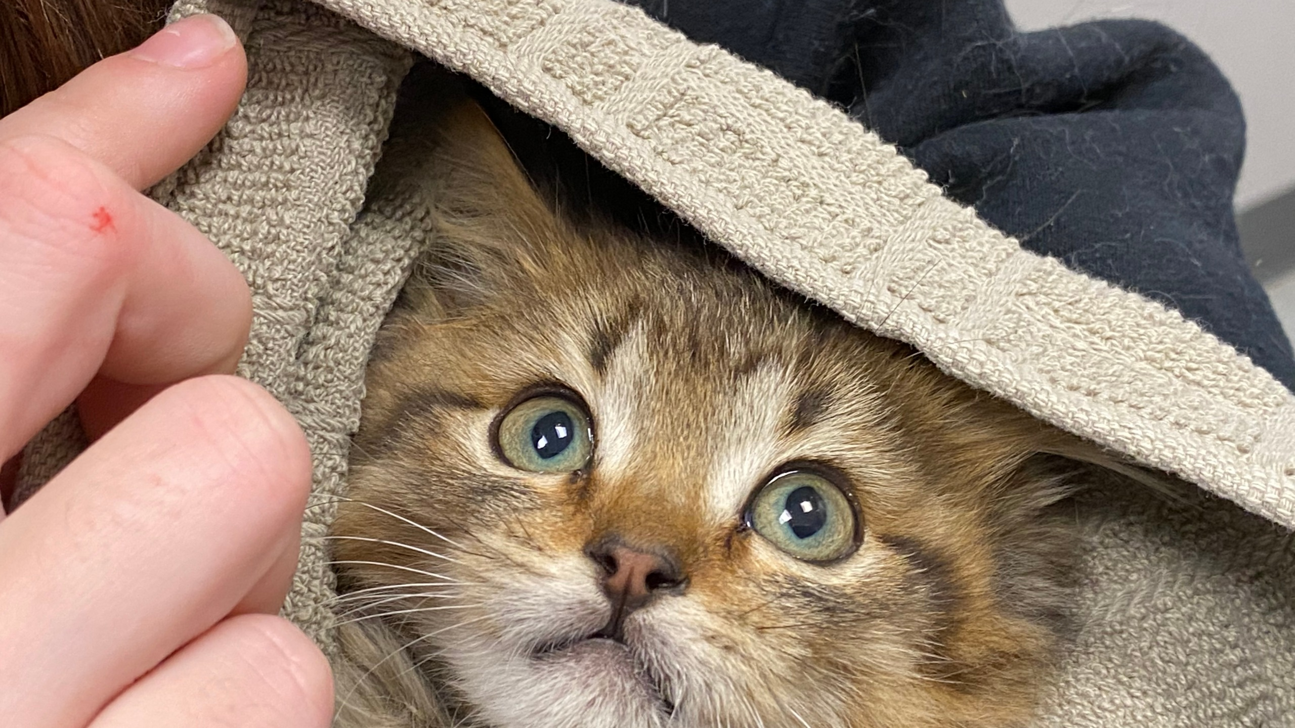 Good Samaritan saves kitten frozen to truck tire in Colorado (Credit: Dumb Friends League)