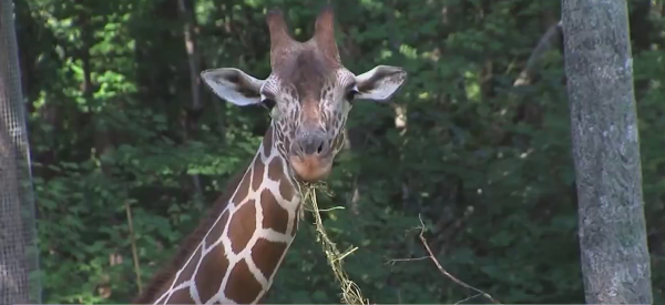 Secrets of the Zoo: NC Zoo will be featured on Nat Geo Wild premiere tomorrow