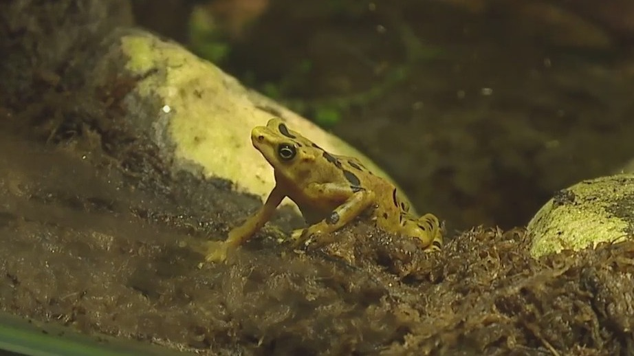 Extinct in the wild, poisonous golden frogs are thriving at the North Carolina Zoo