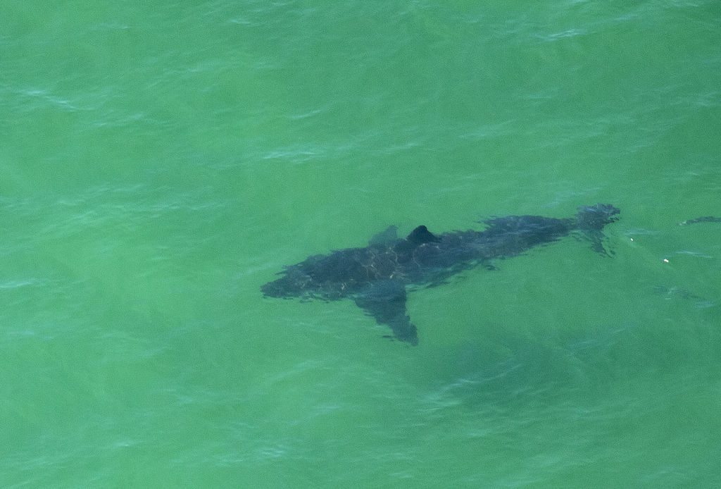 A Great White Shark swims off the shore of Cape Cod, Massachusetts on July 13, 2019. - Three Cape Cod beaches were temporarily closed to swimming on July 13, 2019 after great white sharks were spotted as close as 150 feet offshore, according to the Atlantic White Shark Conservancy. (Photo by Joseph Prezioso / AFP) (Photo credit: JOSEPH PREZIOSO/AFP via Getty Images)