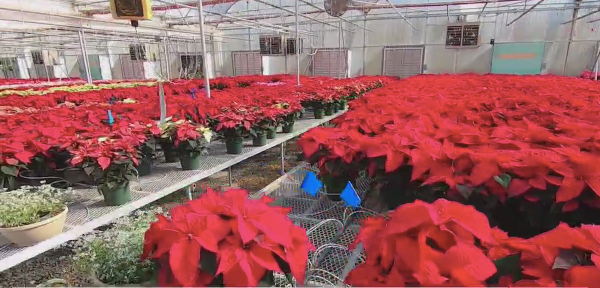 Poinsettia's are flowering early this year