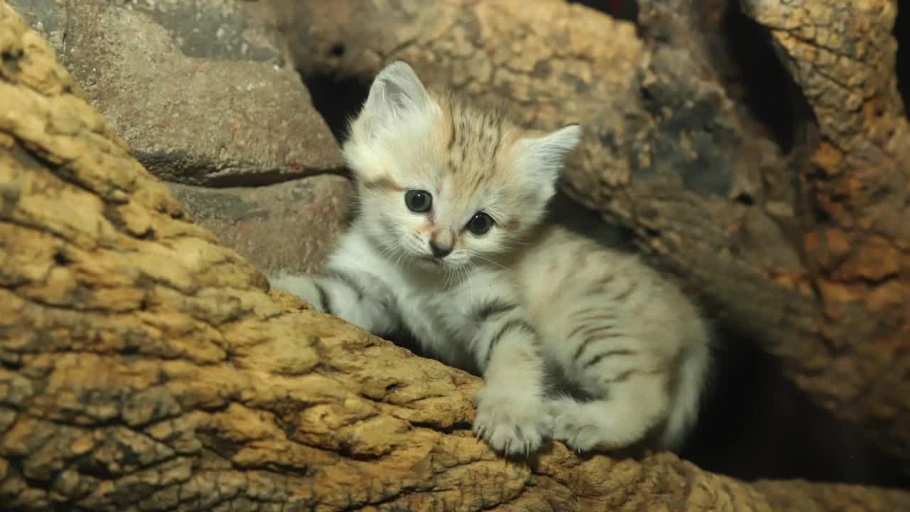 Meet the North Carolina Zoo's baby sand cat Layla