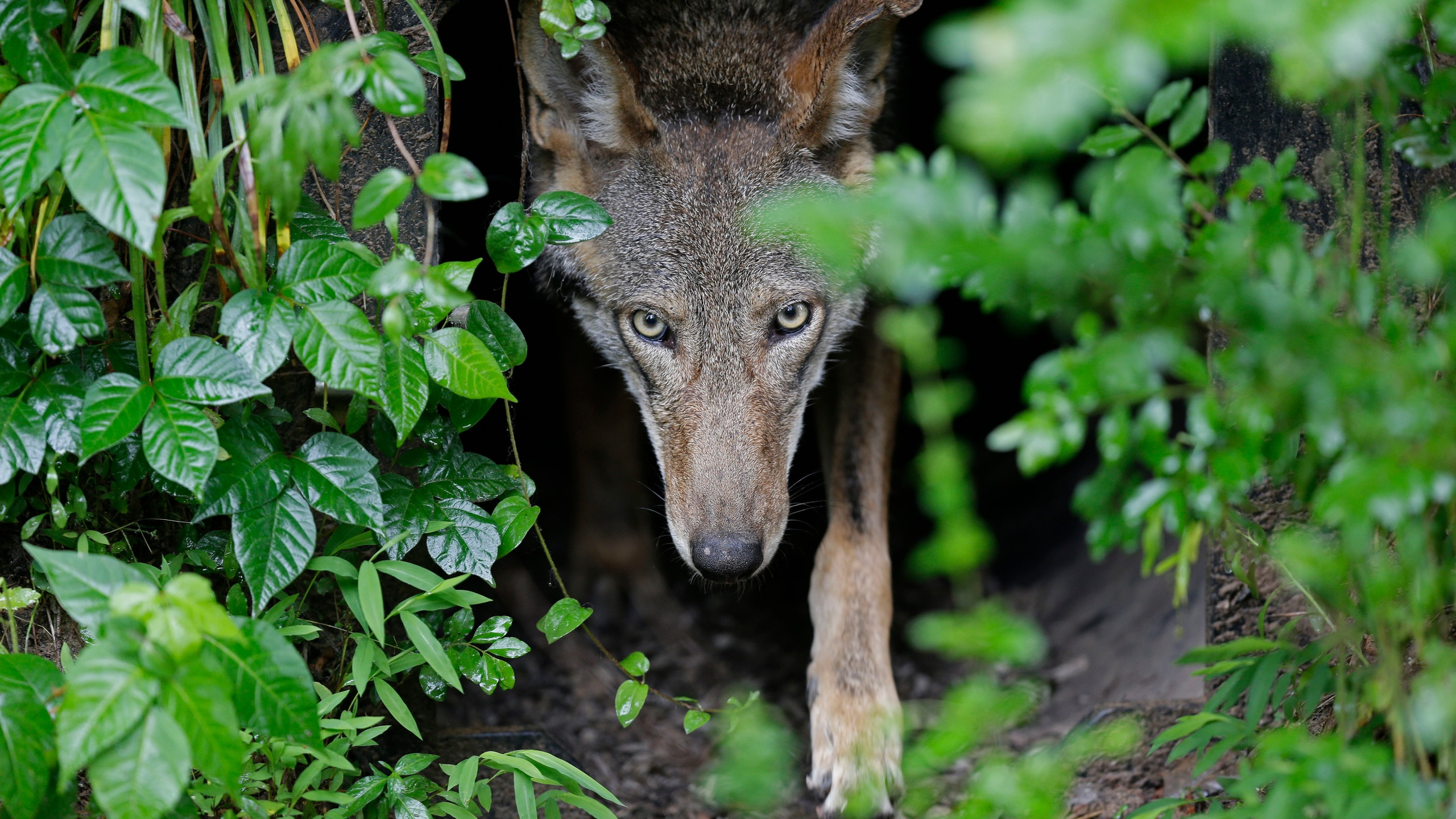FILE - In this Monday, May 13, 2019 file photo, A female red wolf emerges from her den sheltering newborn pups at the Museum of Life and Science in Durham, N.C. A judge has ordered the federal government to come up with a plan to release more endangered red wolves from breeding programs to bolster the dwindling wild population. U.S. District Judge Terrence Boyle signed an order Thursday, Jan. 21, 2021 directing the U.S. Fish and Wildlife Service to draft a plan by March 1 for releasing captive-bred wolves into the wolves' designated habitat in North Carolina. (AP Photo/Gerry Broome, File)