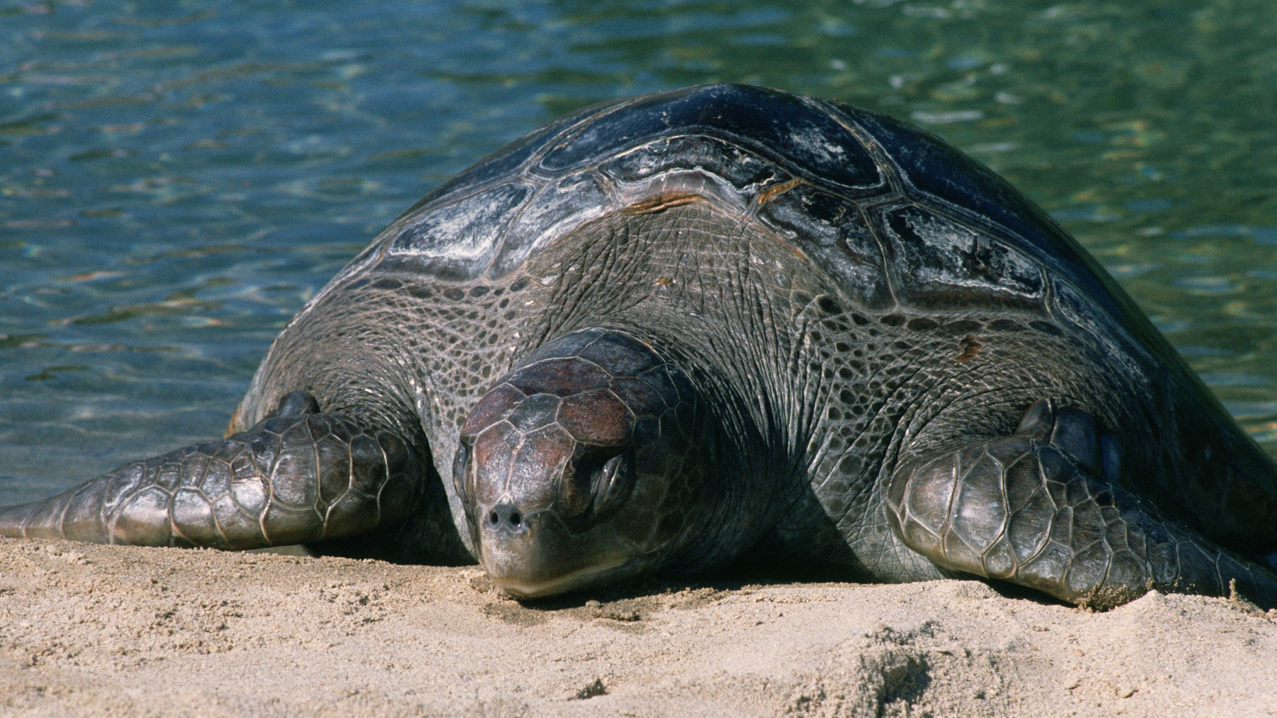 Leatherback sea turtle (Stock image/Getty)