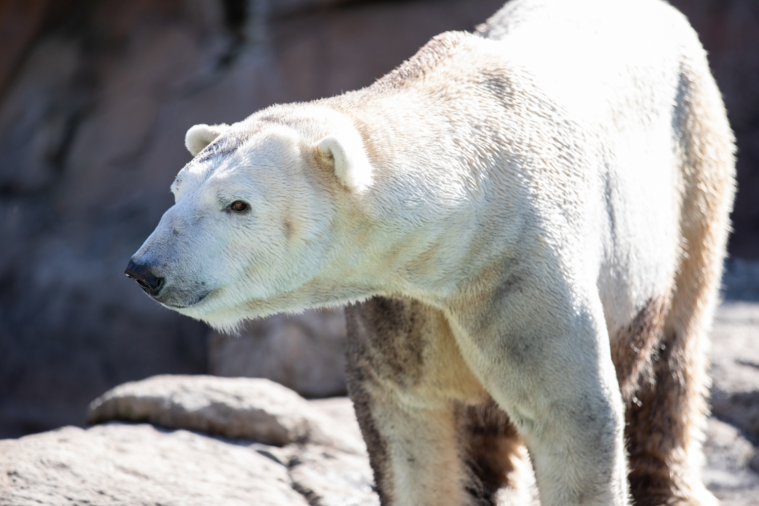 Payton, male polar bear at North Carolina Zoo. Photo credit North Carolina Zoo.