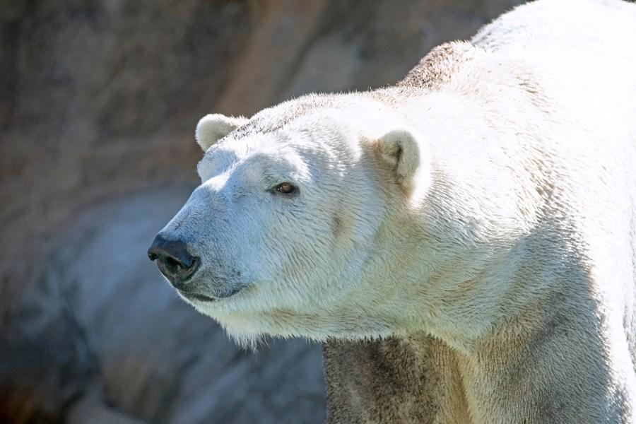 Payton, male polar bear at North Carolina Zoo. Photo credit North Carolina Zoo.