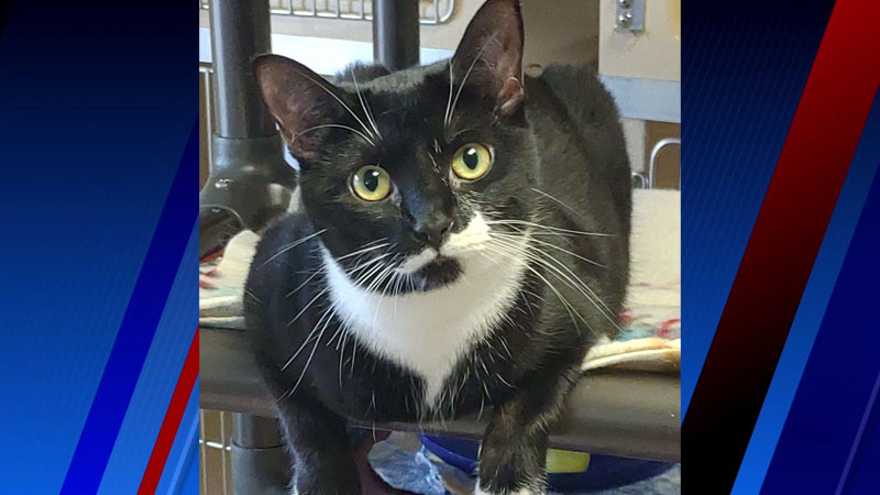'Sweet, green-eyed tuxedo lady' Meadow is looking for a home full of love