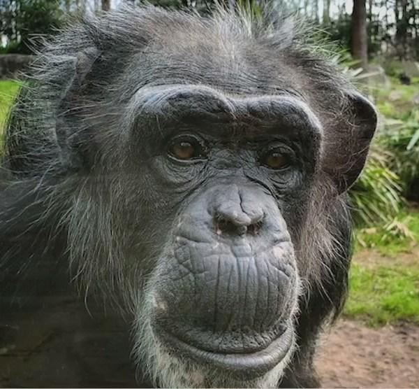 Happy Birthday, Tammy! NC Zoo's oldest chimp hits the big 5-0