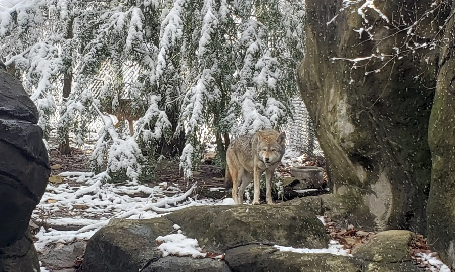 Nc Zoo Mourning Loss Of 15 Year Old Red Wolf Myfox8 Com
