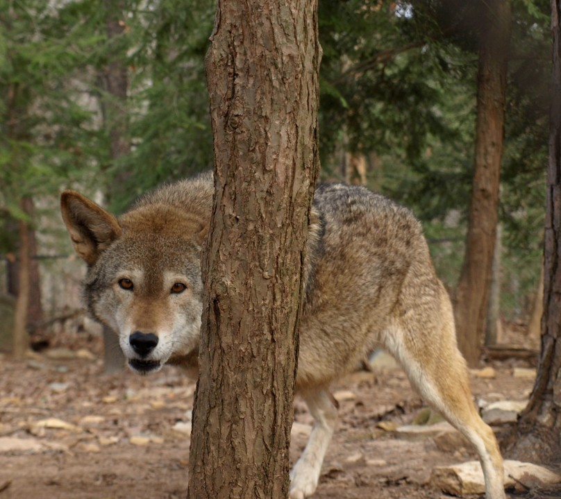 NC Zoo mourning loss of 15-year-old red wolf