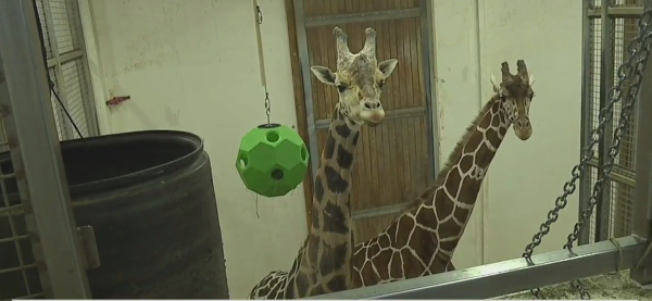 Rain, rain go away: 4 giraffes at NC Zoo waiting for sunny weather to get back outside