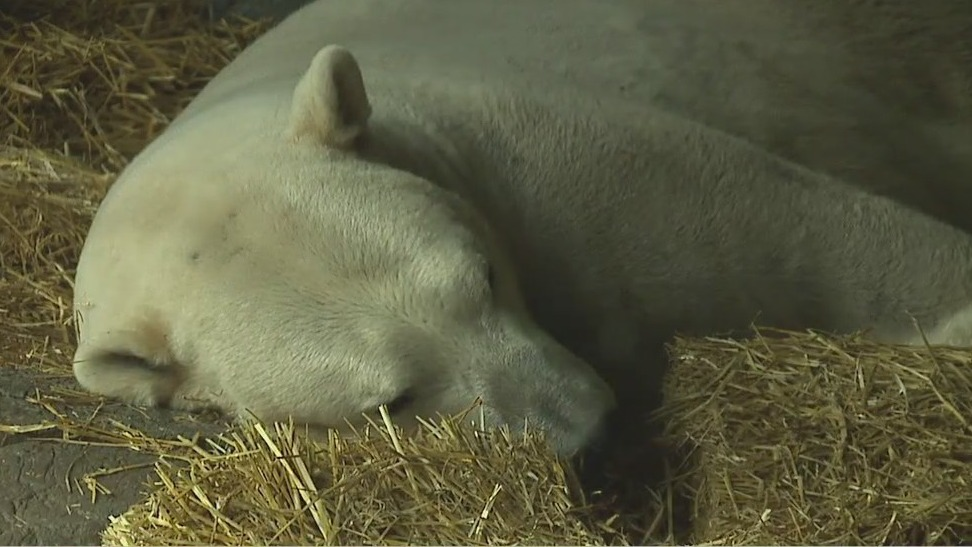 Polar bears mingle at NC Zoo as keepers keep fingers crossed for cubs