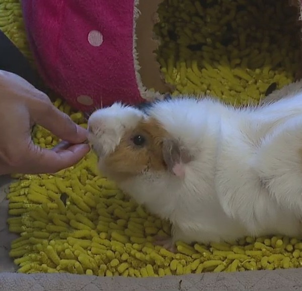 Triad guinea pig rescuer wards off pandemic blues with her little entourage