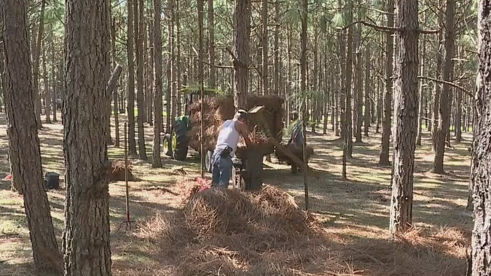 Carthage business is bringing back the Long Leaf Pine, beautifying NC and your home