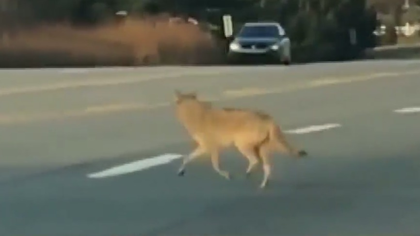 Coyote spotted in Winston-Salem; What you need to know to keep yourself, your family and your pets safe