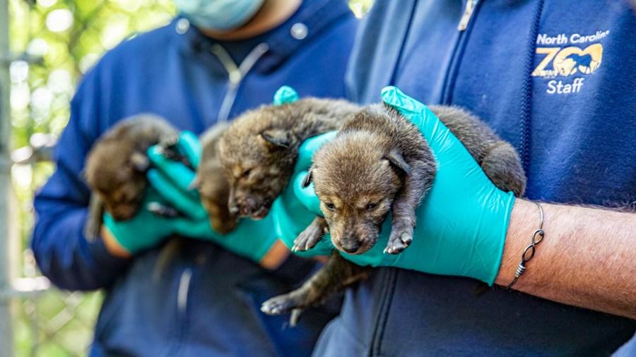 12 critically-endangered wolf pups born at North Carolina Zoo (Moriah Angott/N.C. Zoo)