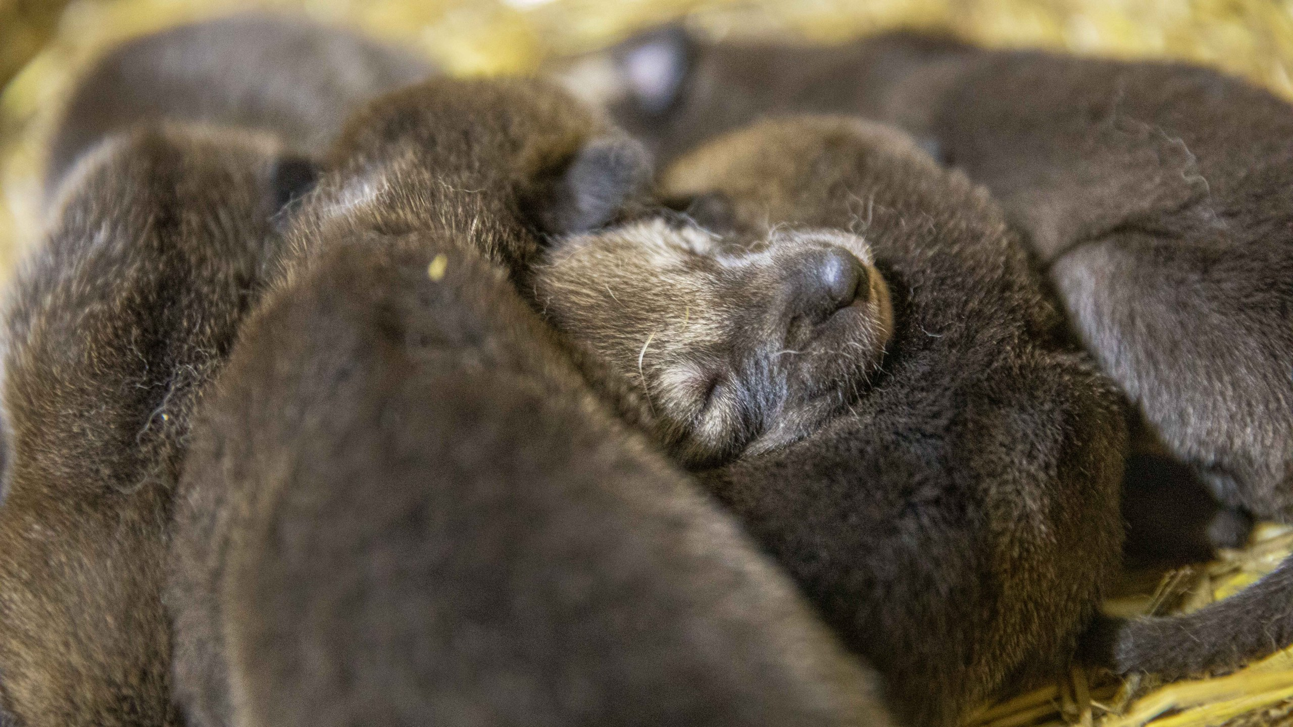 12 critically-endangered wolf pups born at North Carolina Zoo (Moriah Angott/N.C. Zoo)