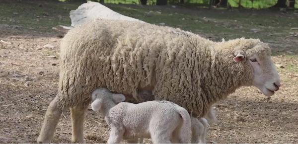 Project Pet: Kuykendall Lambs