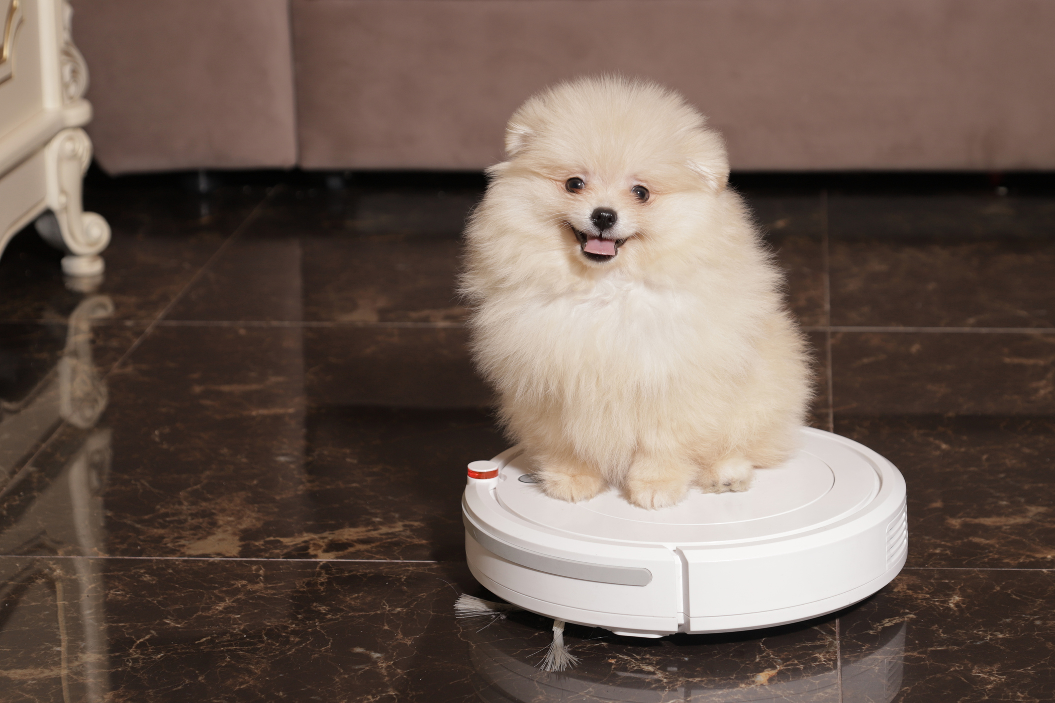 small dog sitting on a robot vacuum cleaner in a room (getty images)