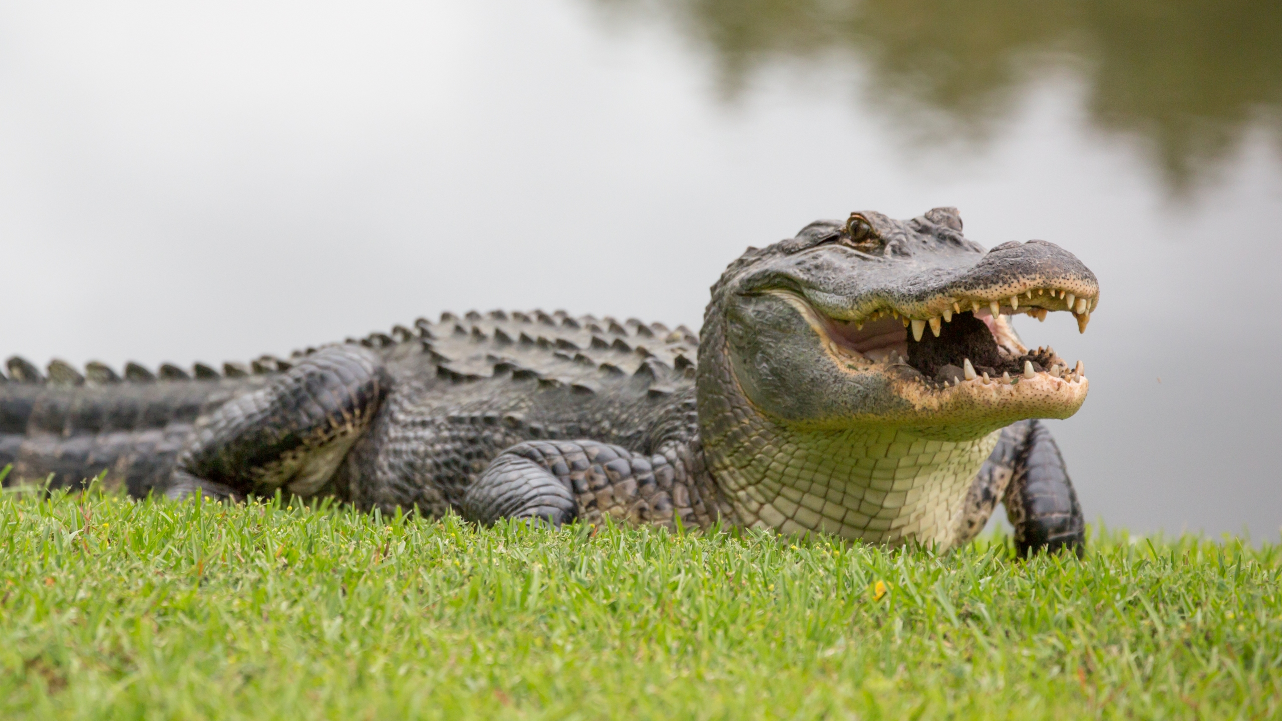 Alligator (Getty Images)