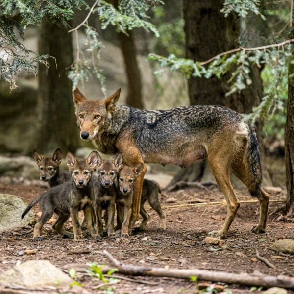 Red wolf pups, credit Nathan Burns