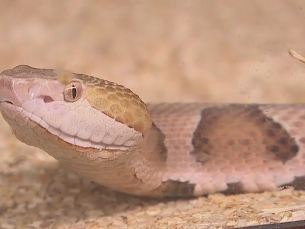 Venomous snake captured in Raleigh; It is legal to own exotic snakes in NC, a rarity among the states