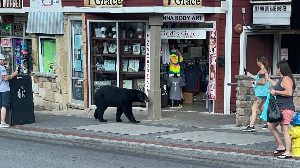 'Can you imagine sitting in the restaurant and a bear coming out?' Bear runs into restaurant, walks along sidewalk beside visitors