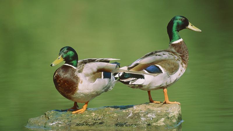 Mallard ducks (Stock image/Getty)