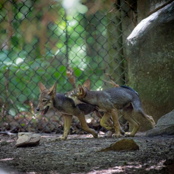 Red Wolf Pups (NCZoo)