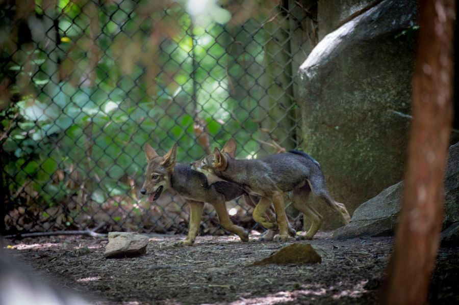 Red Wolf Pup (NCZoo)