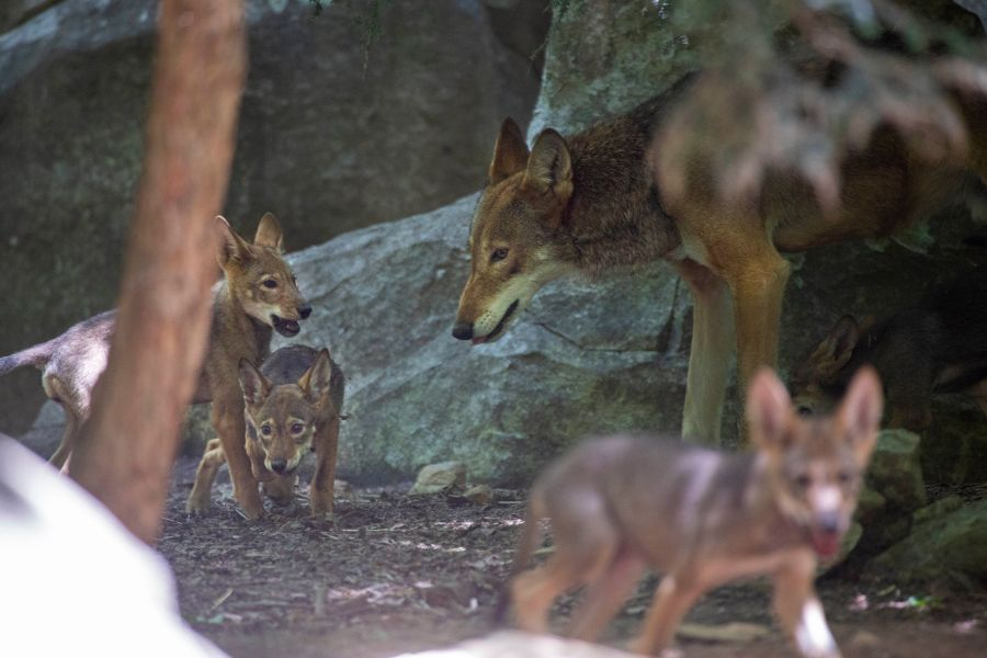 Red Wolf Pup with dad Flint (NCZoo)