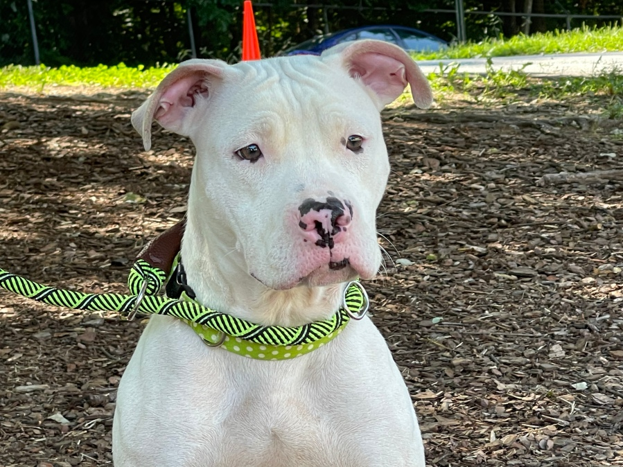 Belle can be found at the Guilford County Animal Shelter