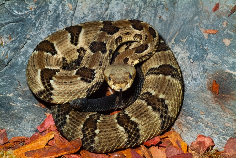 Timber Rattlesnake (Getty Images)