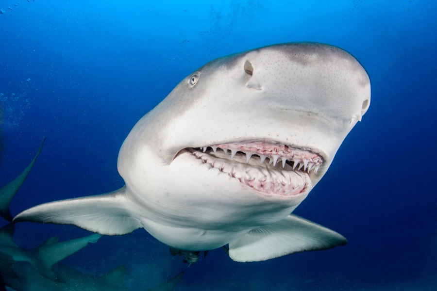 A Lemon Shark shows its teeth and jaws to a scuba diver off the coast of West Palm Beach, Florida (Getty Images)