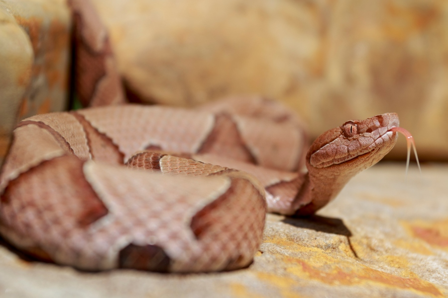 Copperhead (Getty Images)
