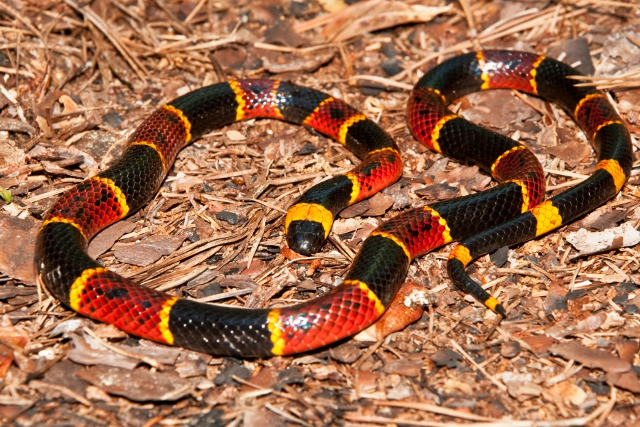 A close up of an Eastern Coral Snake (Getty Images)