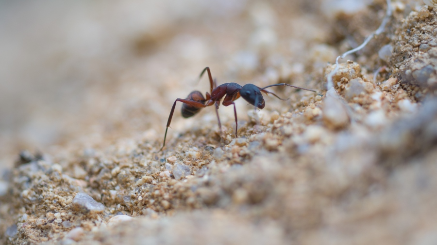 A solitary ant walking on the ground (Getty Images)