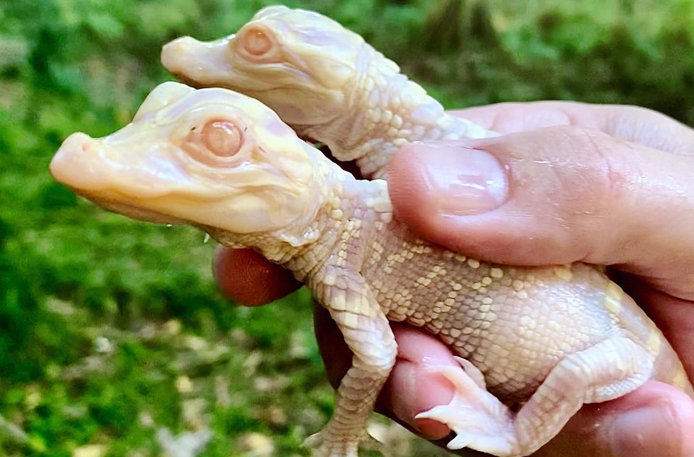 Albino Alligator Hatchlings (Courtesy of Wild Florida)