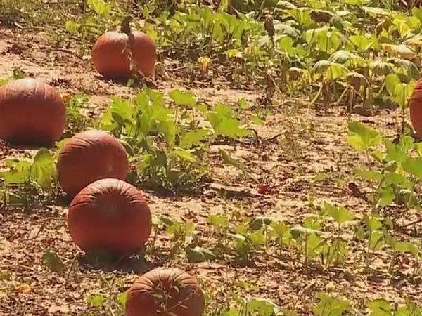 Corn maze, pumpkin patch opening at Red Hound Farms in Davidson County this weekend