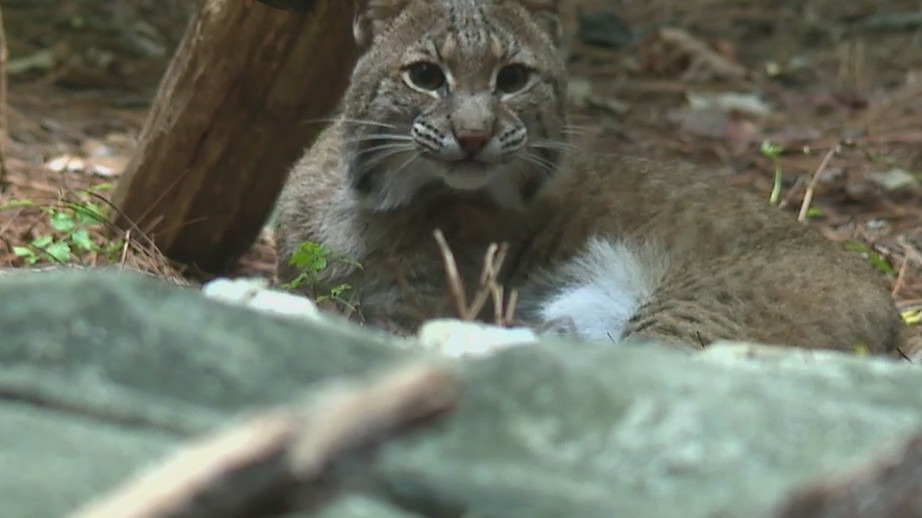 Alley the Bobcat