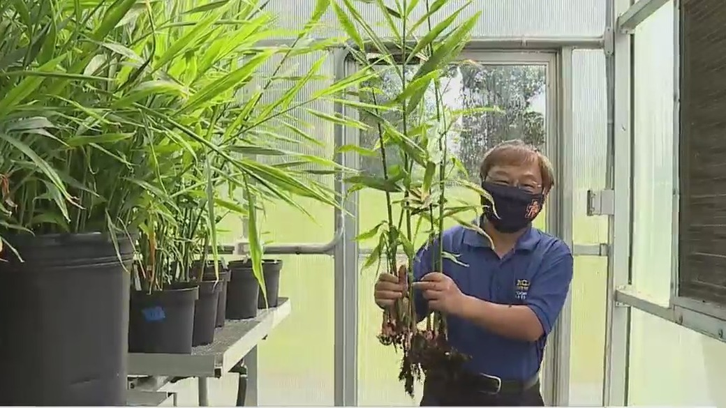 'Baby ginger' isn't your neighbor's kid. It's NC A&T State University's new cash crop